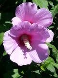Фиолетовые цветки Syriacus гибискуса стоковые изображения rf