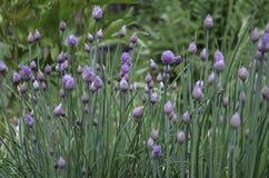 Фиолетовые цветя Chives Стоковые Изображения