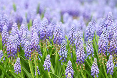 Фиолетовые botryoides muscari стоковые фотографии rf