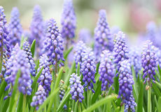 Фиолетовые botryoides muscari стоковые фото