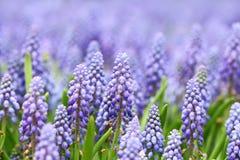 Фиолетовые botryoides muscari стоковое фото rf