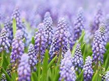 Фиолетовые botryoides muscari Стоковое Изображение