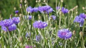 Фиолетовые cornflowers в саде акции видеоматериалы