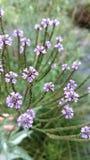 Фиолетовые laitris Стоковое Изображение