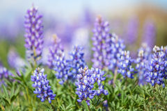 Фиолетовые lupines в весеннем времени Стоковая Фотография