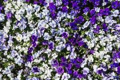 Фиолетовые pansies в саде, естественной предпосылке Стоковые Изображения RF