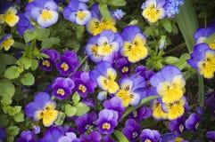 Фиолетовые panzies в Giverny Стоковые Изображения
