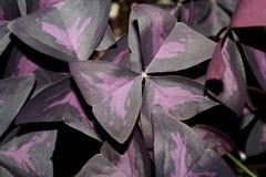 Фиолетовые Shamrocks закрывают вверх по детали Стоковое Изображение RF
