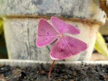 Фиолетовые Shamrocks & x28; Oxalis Triangularis& x29; 2 Стоковые Изображения
