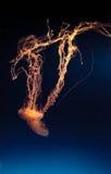 Фиолетовые striped медузы, colorata Chrysaora Стоковые Изображения