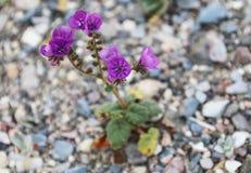 Фиолетовые Wildflowers Caltha-Leaved Phacelia Phacelia Calthifolia пустыни Стоковые Фото