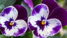 Фиолетовый альт цветет предпосылка стоковые фотографии rf