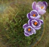 Фиолетовый & белый крокус Стоковые Фотографии RF