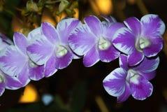 Фиолетовый & белый цветок орхидеи Стоковая Фотография