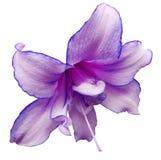 Фиолетовый большой цветок Предпосылка изолированная белизной с путем клиппирования closeup Отсутствие теней Для конструкции Стоковая Фотография