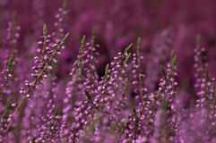 Фиолетовый вереск Стоковые Фотографии RF