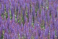 Фиолетовый вереск Стоковое Изображение