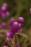 Фиолетовый возглавленный цветок Gomphrena Стоковое Изображение RF