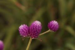 Фиолетовый возглавленный цветок Gomphrena Стоковые Изображения