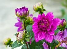 Фиолетовый георгин сада Стоковое Изображение RF