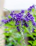 Фиолетовый голубой цветок Duranta Стоковая Фотография RF
