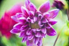 Фиолетовый лев 3 Стоковое фото RF