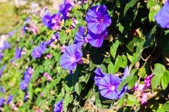 Фиолетовый завод вьюнка в солнечном дне Стоковая Фотография