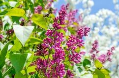 Фиолетовый зацветать куста сирени Стоковое Изображение