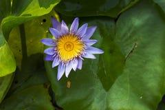 Фиолетовый зацветать лотоса Стоковое Изображение