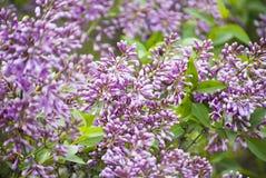 Фиолетовый зацветать сиреней Стоковые Фото