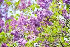 Фиолетовый зацветать сиреней Стоковое фото RF