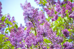 Фиолетовый зацветать сиреней Стоковые Фотографии RF