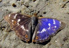 Фиолетовый император стоковые изображения rf