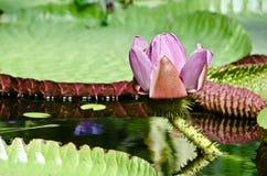 Фиолетовый и белый лотос Frowers Стоковая Фотография RF