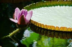 Фиолетовый и белый лотос Frowers Стоковые Фото