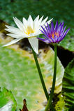 Фиолетовый и белый лотос Frowers Стоковое фото RF