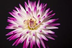 Фиолетовый и белый цветок георгина стоковые изображения