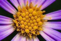 Фиолетовый и желтый цветок Стоковая Фотография