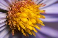 Фиолетовый и желтый цветок Стоковые Изображения RF