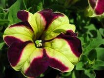 Фиолетовый и зеленый pansy Стоковая Фотография