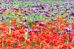 Фиолетовый и красный мак - somniferum (опиумный мак) Стоковая Фотография RF
