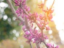 Фиолетовый и розовый бутон цветка на коричневой ветви в стойке солнечности лучей на золотом луге Стоковая Фотография