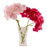 Фиолетовый и розовый hortensia, цветок в прозрачной вазе, конец гортензии вверх, изолировал белую предпосылку Стоковая Фотография RF