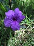 Фиолетовый карибский цветок Стоковые Фотографии RF