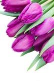 Фиолетовый конец букета тюльпанов вверх Стоковое Изображение RF