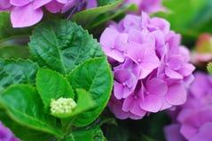 Фиолетовый конец гортензии вверх Стоковая Фотография