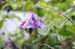 Фиолетовый колокол Стоковая Фотография
