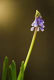 Фиолетовый колокол Стоковое Фото