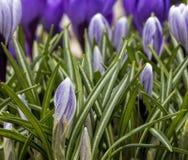 Фиолетовый крокус в зеленых листьях Стоковая Фотография