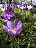 Фиолетовый крокус цветет весной Стоковая Фотография RF